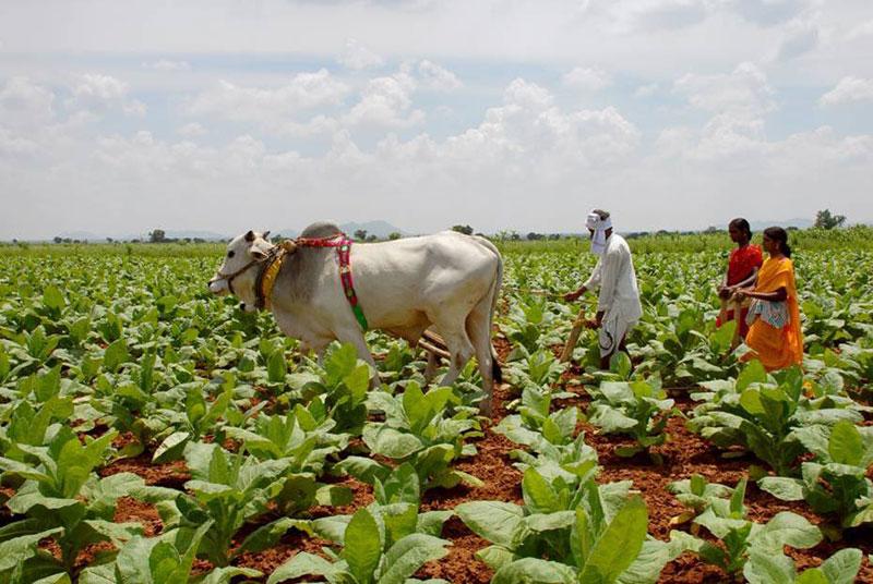 Tobacco Board Ups Andhra Crop Size