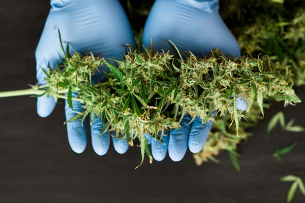Several U.S. States Legalize Marijuana