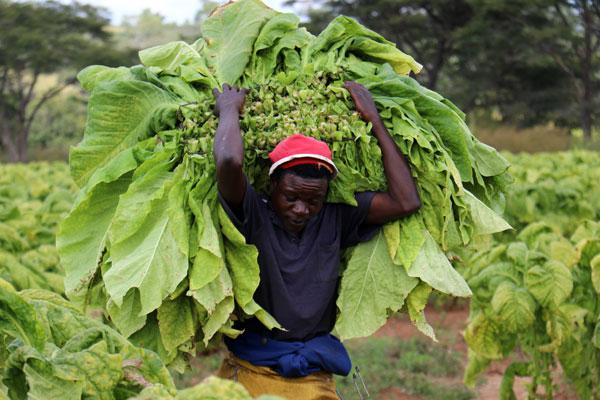 Restrictions Threaten Zimbabwe's Season