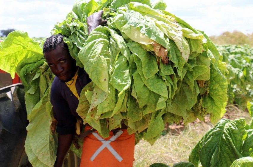 Zimbabwe OKs Tobacco Transformation Plan