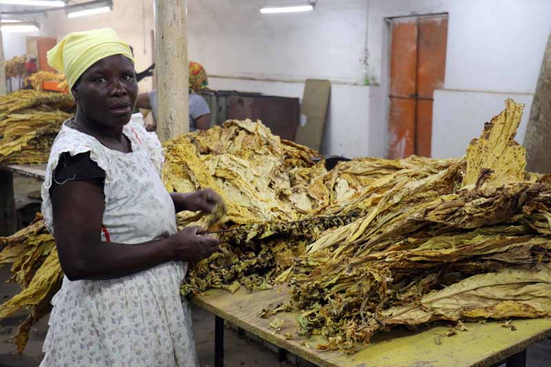Zimbabwe: Tobacco Earnings Double From Last Year's