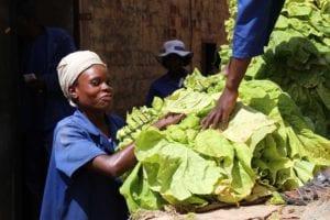 A Zimbabwean farm worker loads leaf onto a truck