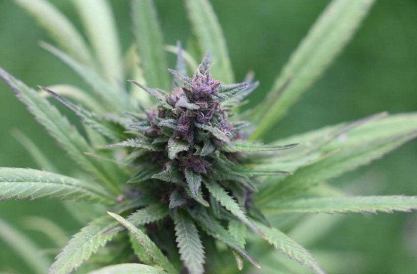 22nd Century to Accelerate Commercialization of Cannabis