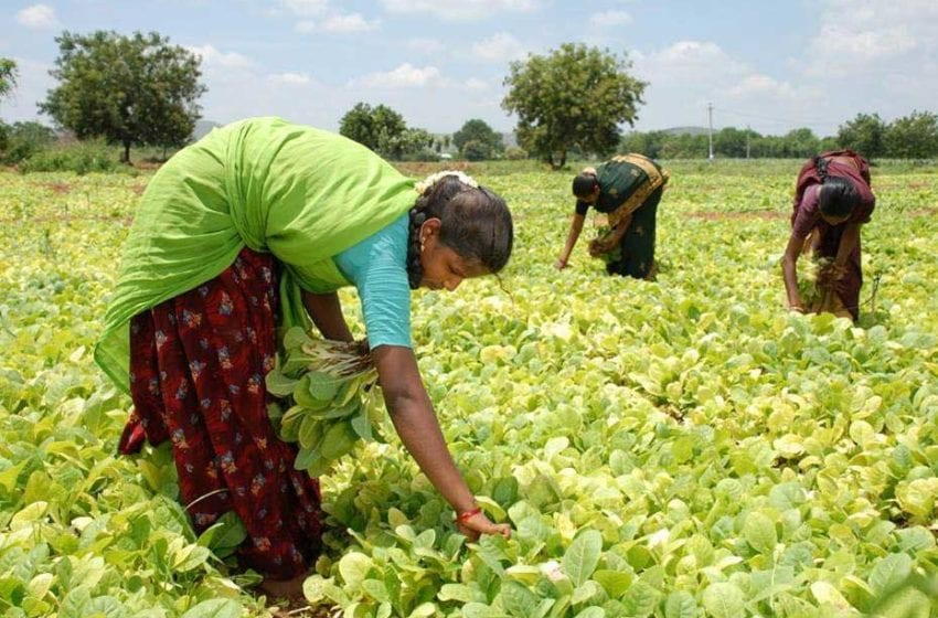 Indian Farmers Worried About Tobacco Prices