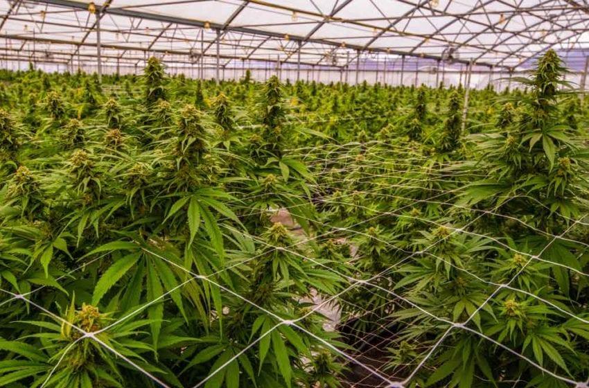 22nd Century Partners for Cannabis Breeding