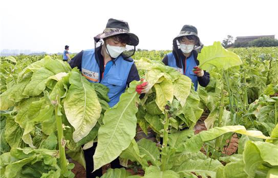 KT&G Helps Alleviate Farm Labor Shortage